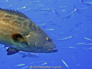 2 Black Groupers hunting Bogas in the watercolumn ... by Christopher Lynch 